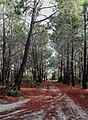 Native pine trees (Pinus Pinaster) delimiting a sand road.jpg