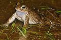 Natterjack Toad (Epidalea calamita) male (16778508776).jpg