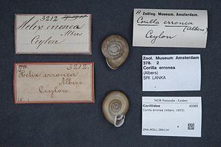 <i>Corilla</i> Genus of gastropods