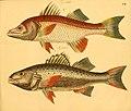 Naturgeschichte in Bildern mit erläuterndem Text (Taf. CI) (6058675551).jpg