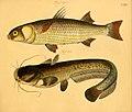 Naturgeschichte in Bildern mit erläuterndem Text (Taf. CXV) (6059225952).jpg