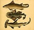 Naturgeschichte in Bildern mit erläuterndem Text (Taf. II) (6059202742).jpg