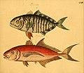 Naturgeschichte in Bildern mit erläuterndem Text (Taf. LXIV) (6058667361).jpg