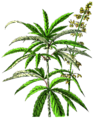 NdP Cannabis sativa.png