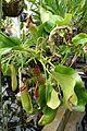 Nepenthes truncata - Lyman Plant House, Smith College - DSC02006.jpg