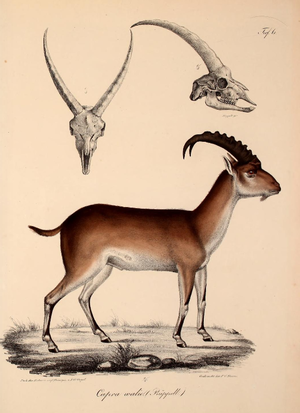 Walia ibex - Rüppell's depiction of the species (1835).