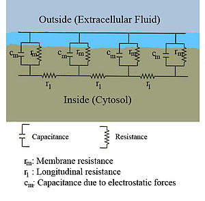 A diagram showing the resistance and capacitance across the cell membrane of an axon.  The cell membrane is divided into adjacent regions, each having its own resistance and capacitance between the cytosol and extracellular fluid across the membrane.  Each of these regions is in turn connected by an intracellular circuit with a resistance.