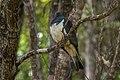 New Zealand Pigeon - New Zealand (39212855102).jpg