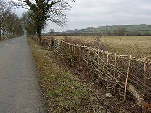 Hedge - A stretch of newly laid traditional hedging near Middleton, Northamptonshire