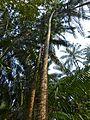 Nibong Palms (Oncospermum sigillarium) spiny trunks (8216705107).jpg