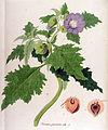Nicandra physaloides — Flora Batava — Volume v12.jpg
