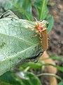 Noordwijk - Bleekgele weekschildkever (Cantharis livida).jpg