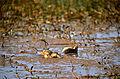 Northern Shoveler (Anas clypeata) female (20593862369).jpg