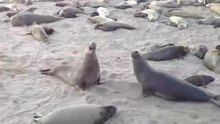 File:Northern elephant seals fighting.webm