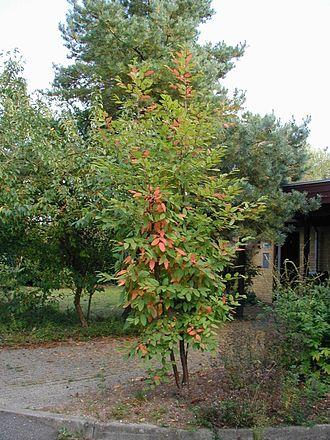 Lophozonia alpina - Young tree