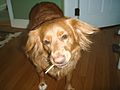Nova Scotia Duck Tolling Retrievers love lollipops and gummies (age 15).JPG