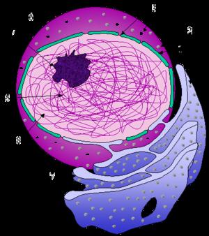 Figura do núcleo e do retículo endoplasmático: (1) Envoltório nuclear. (2) Ribosomos. (3) Poros nucleares. (4) Nucléolo. (5) Cromatina. (6) Núcleo. (7) Retículo endoplasmático. (8) Nucleoplasma.