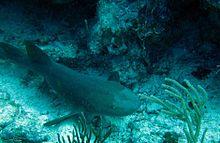 Common Sharks In The Virgin Islands