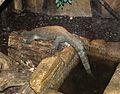Nyíregyháza Zoo, Varanus indicus 2.jpg