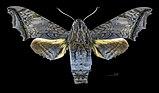 Nyceryx stuarti MHNT CUT 2010 0 198 Guyane française Belizon Pk4 973 female dorsal.jpg