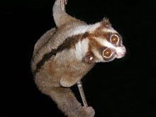 A Javan slow loris clings perpendicularly to a vertical strand of bamboo.