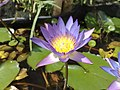 Nymphaea capensis (5675274047).jpg