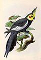 Nymphicus hollandicus 1876.jpg