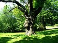 Oak tree quercus robur.jpg