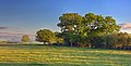 Oaks On The South Common - panoramio.jpg