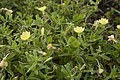 Oenothera laciniata 03.jpg