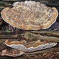 Old Daedalea quercina (Oak Mazegill or Mazegill Fungus, D= Eichenwirrling, F= Dédalée du chêne, NL= Doolhofzwam)(Querus=Oak=Eiche=Chêne=Eik) white spores, causes brownrot, at Rozendaal. Topview and sideview. The bo - panoramio.jpg