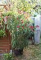 Oleander im Garten (19773237154).jpg
