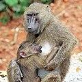 Olive baboon (Papio anubis) suckling, Semliki Wildlife Reserve.jpg
