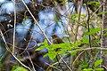 Olive sparrow (45941715085).jpg