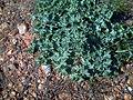 Onopordon illyricumRosetafolial.jpg