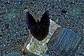 Open wing position of Male Rohana parisatis (Westwood, 1850) – Black Prince WLB DSC 0 124.jpg