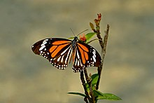 Open wing posture basking of Danaus melanippus Cramer, 1777 – White Tiger (Male) WLB DSC 2695.jpg
