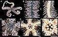 Ophiothrix (Ophiothrix) rudis (zookeys.406.6306) 01.jpg