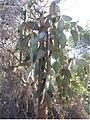 Opuntia cactaceae 0zz.jpg