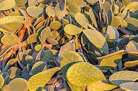 Opuntia ficus-indica in Ayia Marina Chrysochous, Cyprus 05.jpg