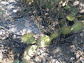 Opuntia stenopetala (5762082566).jpg