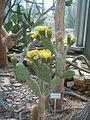 Opuntia stricta BotGardBln07122011A.JPG