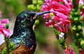 Orange-breasted Sunbird, Anthobaphes violacea (8419588996).jpg
