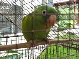 Orange-chinned Parakeet.jpg