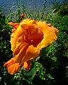 Orange Beauty (5720316604).jpg