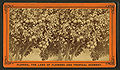 Orange tree, loaded with fruit, flowers, and buds, from Robert N. Dennis collection of stereoscopic views.jpg