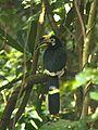 Oriental Pied Hornbill Anthracoceros albirostris by Dr. Raju Kasambe IMG 2558 (15).JPG