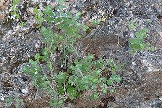 <i>Origanum syriacum</i> species of plant