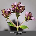 Origanum vulgare subsp. vulgare sl17.jpg