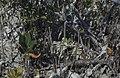 Origin of pneumatophores. Black mangrove. Lagoon. (27093658239).jpg